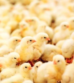 屋内養鶏場、鶏の餌付け