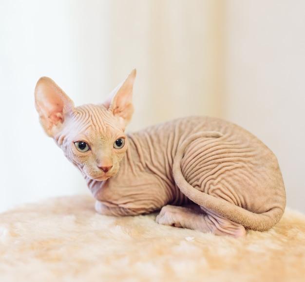 毛のないスフィンクス猫。