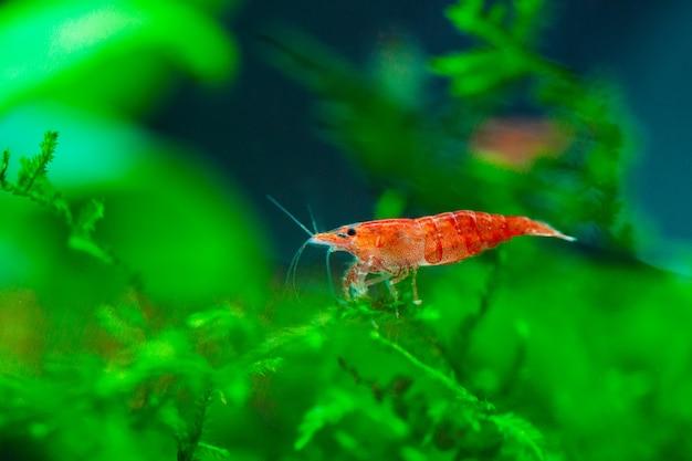 淡水アクアリウムタンクの葉の小人エビ