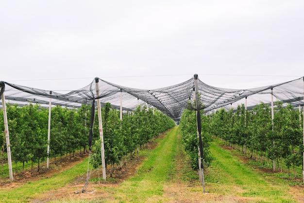 Сельское хозяйство. ряды яблонь растут.