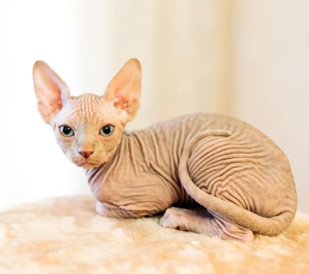 無毛スフィンクス猫。