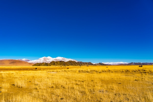 黄色の草原で放牧モンゴル牛の群れのビュー