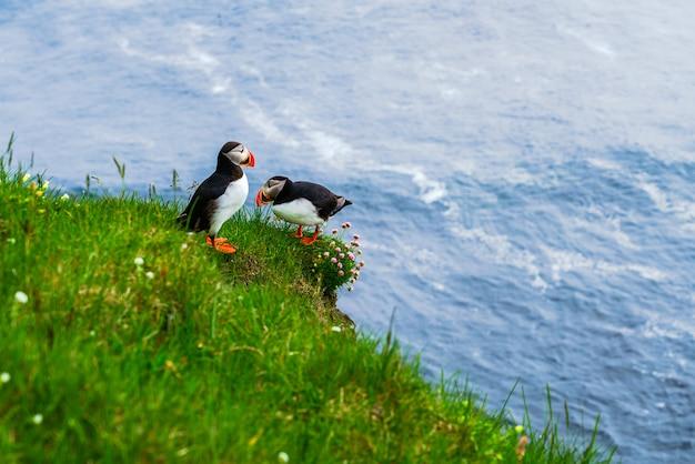 大西洋ツノメドリは、アイスランド最西端のラトラブヤルグの崖の上に立っています。家族の大西洋ツノメドリの風の崖の緑の草の上に立っての写真。