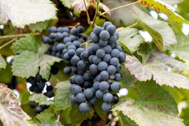秋の収穫の夕暮れ時のブドウ畑。秋に熟したブドウ。