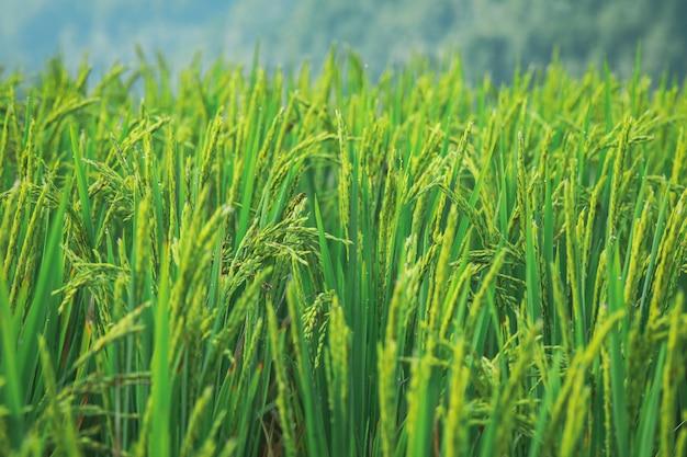 緑の水田。米のプランテーション。アジアのオーガニックジャスミンライスファーム。稲作農業。
