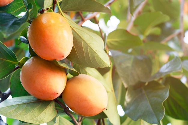 Плодоовощ хурмы на конце дерева вверх. концепция сельского хозяйства и уборки урожая, тонированное