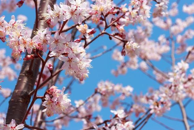 Цветущая ветка сакуры против голубого неба.