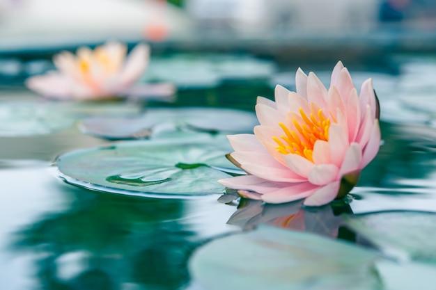 池の美しいピンクのスイレンや蓮の花