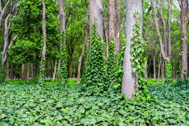 Сцена зеленого леса с деревьями и плющом