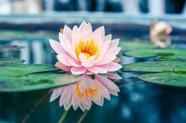 池の美しいピンクのスイレンやハスの花