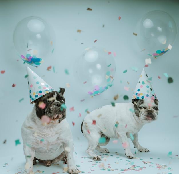 Французский бульдог празднует день рождения с воздушными шарами и конфетти