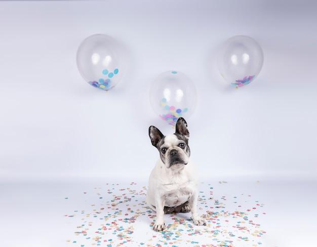 Старый французский бульдог празднует день рождения с воздушными шарами и конфетти на