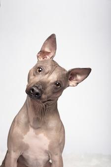 Портрет собаки породы американский голый терьер