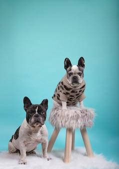 幸せなバレンタインデーのための愛のフレンチブルドッグ犬のカップル