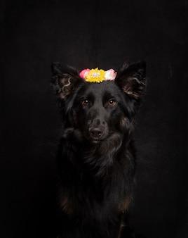 Красивый черный бордер-колли с цветочным оголовьем на голове, смотрит в камеру на черном фоне в студии