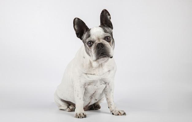 Красивая женская собака породы французского бульдога смотря камеру изолированную на белой предпосылке.