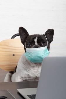 自宅で自分のコンピューターから作業する医療用防護マスクとフレンチブルドッグのクローズアップ。