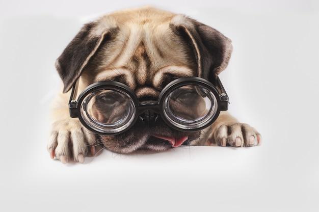 オタク眼鏡の面白いパグ。