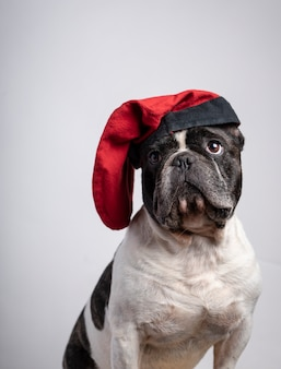 Забавный французский бульдог с красной шапочкой