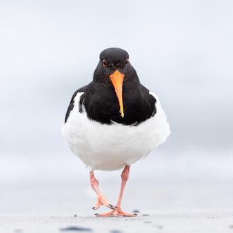 オイスターキャッチャー鳥