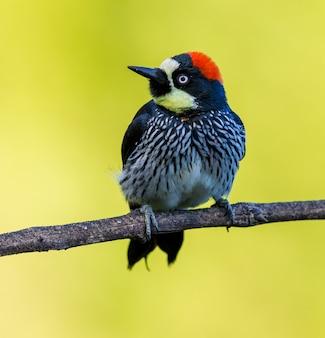 鳥動物のフィンチとキツツキ