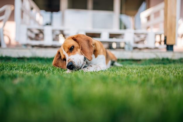 ビーグル犬は骨で遊んで外出者を敷設します。