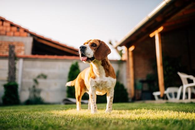 屋外のビーグル犬、庭で。