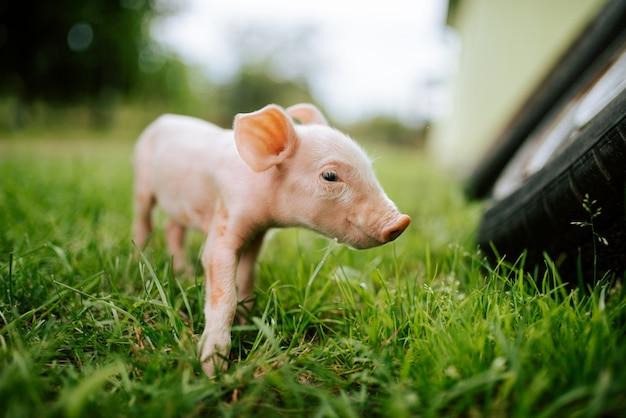 牧草地の子豚。