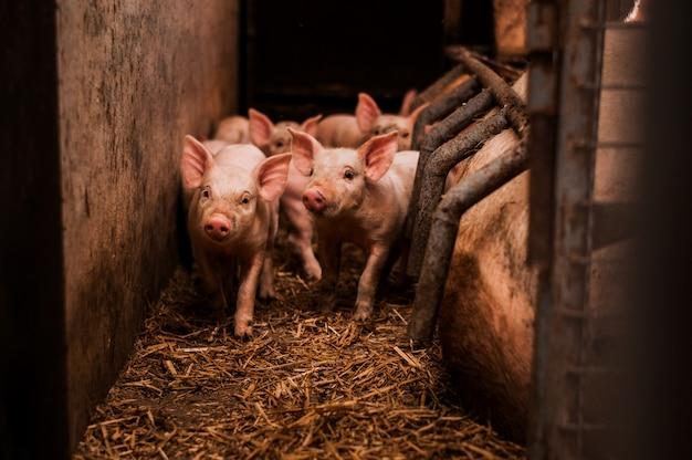 納屋の中の小さな豚