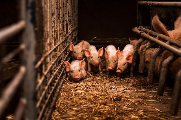 干し草とわらの養豚場でわらに若い子豚の群れ