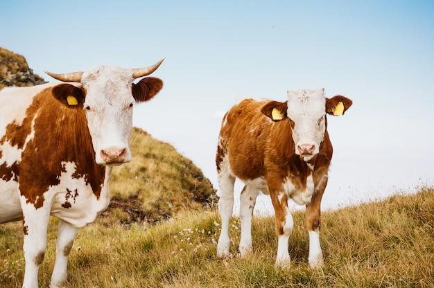 緑の野原に立っている牛