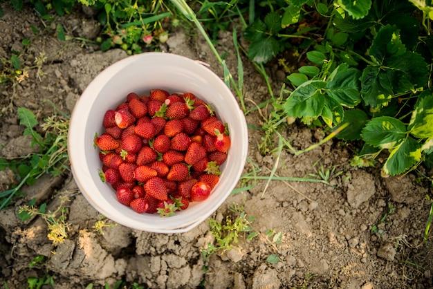 バケツに新鮮なイチゴ。