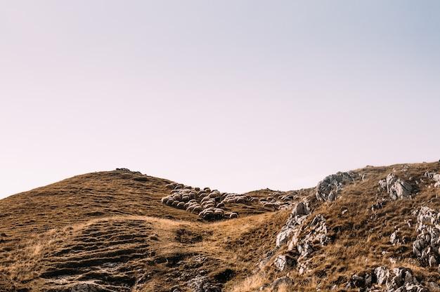 山の羊の群れ