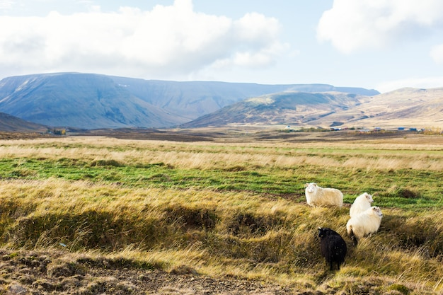 アイスランドの草原