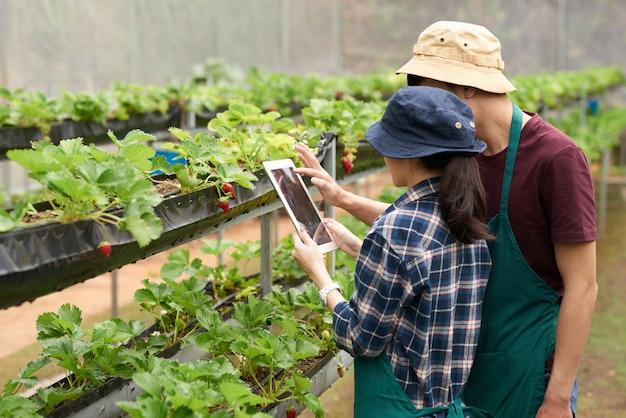 Средний снимок агрономов, фотографирующих клубнику с цифровым планшетом