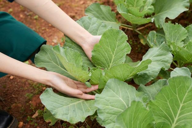 キャベツ作物の世話をする農夫の手のクローズアップ