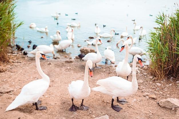 美しい白い白鳥と湖のアヒル