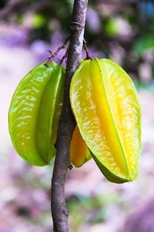 セイシェル諸島の熱帯の木にカランボラフルーツまたはスターアップル