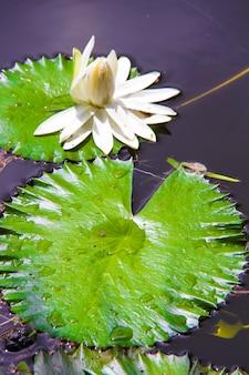 セイシェルズの小さな湖の白い睡蓮