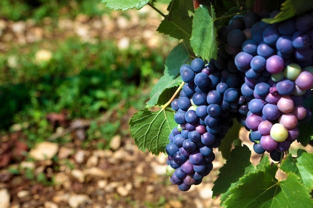 赤ワインピノノワール赤ワインブルゴーニュのブドウ畑フランス。