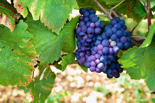 つるにぶら下がっている赤ワイン用ブドウ