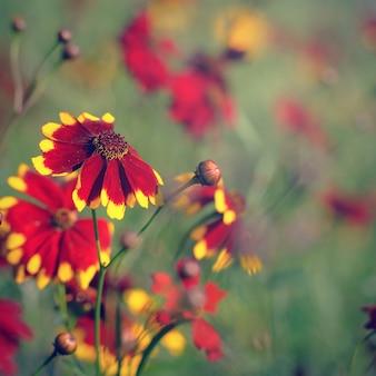 咲くハルシャギクの花のレトロな写真
