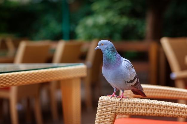 Голубь сидит на плетеном кресле в кафе на улице.