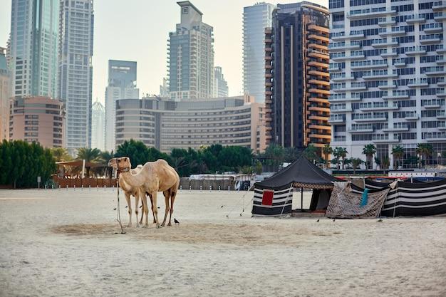 Верблюды стоят на пляже с бедуинской палаткой и небоскребами на заднем плане в дубае