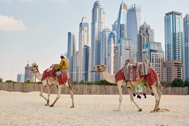 Человек сидит на верблюде на пляже в дубае
