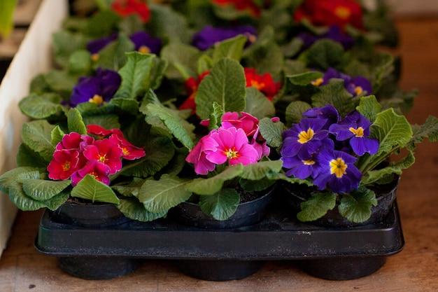 販売のための植木鉢の品揃えで咲くサクラソウ。花卉、ガーデニング。