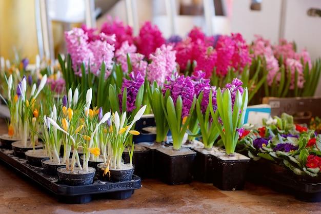 移植用の植木鉢に咲くヒヤシンスとクロッカス。花卉、ガーデニング。