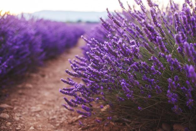 美しい日の出、バレンソール、プロヴァンス、フランスの香りの良いラベンダーの花をクローズアップ