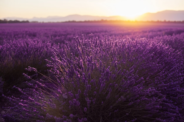 Красивые холодные поля на закате. валансоль, прованс, франция