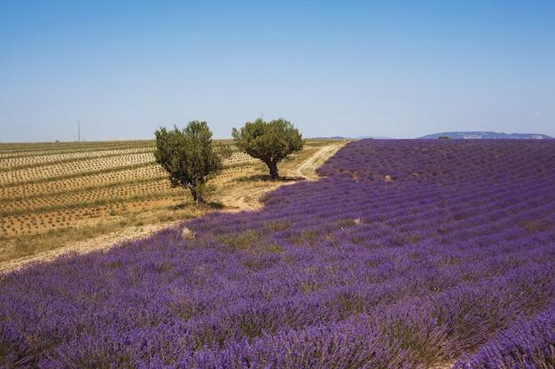 Красивое ароматное лавандовое поле в ярком свете валансоль, прованс, франция